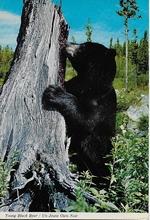 Postcard - Bär  14,5 x 10,5 cm